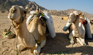 Camels in the Sinai